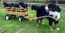 Wilczek Woodworks - custom crafted dog carts, dog wagons & dog