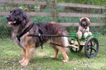 GCH Mr Simply A mason NDDRN Koosa van Leodipako with a small WIN Cart with optional 20 inch wheels